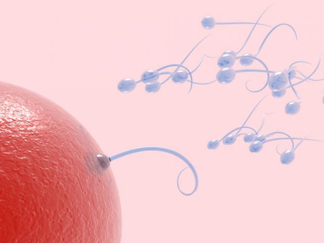 овулација и оплодување на јајце клетката